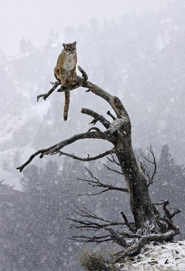 Mountain Lion, Bozeman, Montana